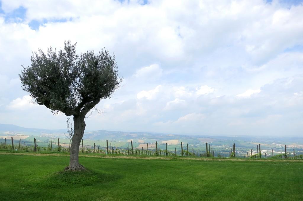 Le Marche vineyard Casal Farneto