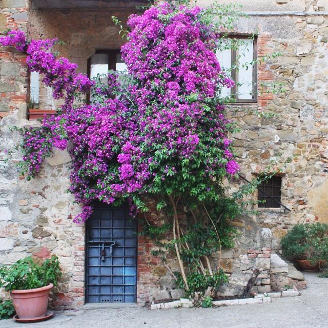 Montemerano's in full bloom! Up on el blog. #bestoftuscany #putavineonit