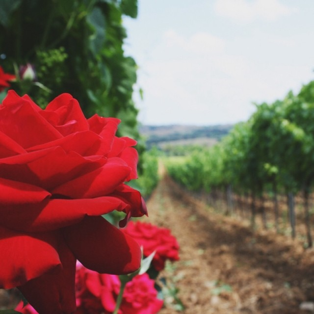 Let's all procrastinate for a hot second, shall we? Here's some roses and grape vines at @cecchiwinery.